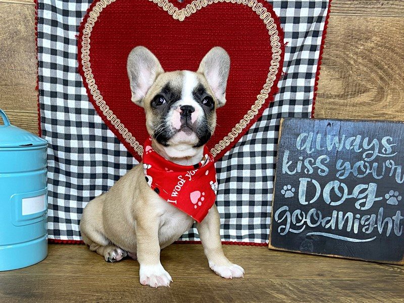 French Bulldog-Male-Fawn Pied-2621372-Petland Athens, OH