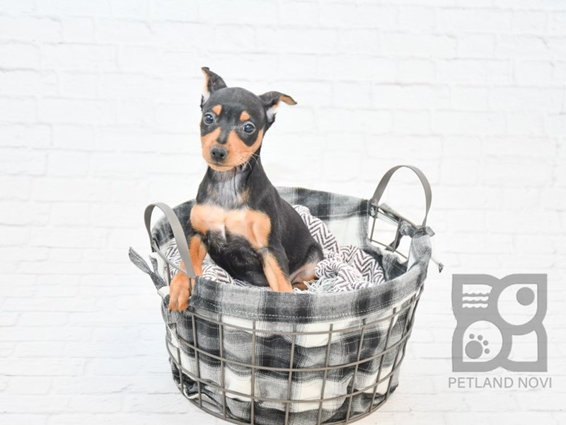 Miniature Pinscher-DOG-Male-Black / Tan-2624929-Petland Athens, OH