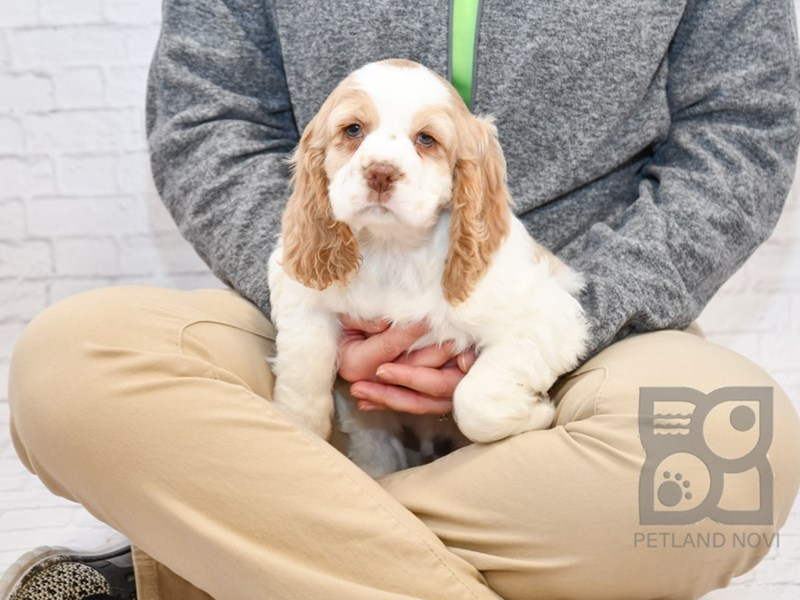 Cocker Spaniel-Male-White / Red-2632214-Petland Athens, OH