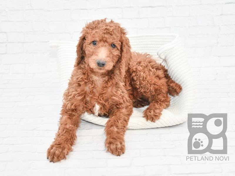 Poodle-Male-Red-2639631-Petland Athens, OH