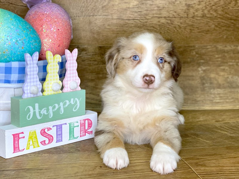 Miniature Australian Shepherd-DOG-Male-RED MERLE-2639415-Petland Athens, OH