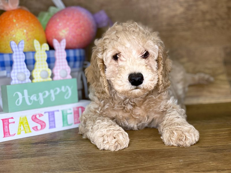 F2 MINI GOLDENDOODLE-Male-Red-2647317-Petland Athens, OH