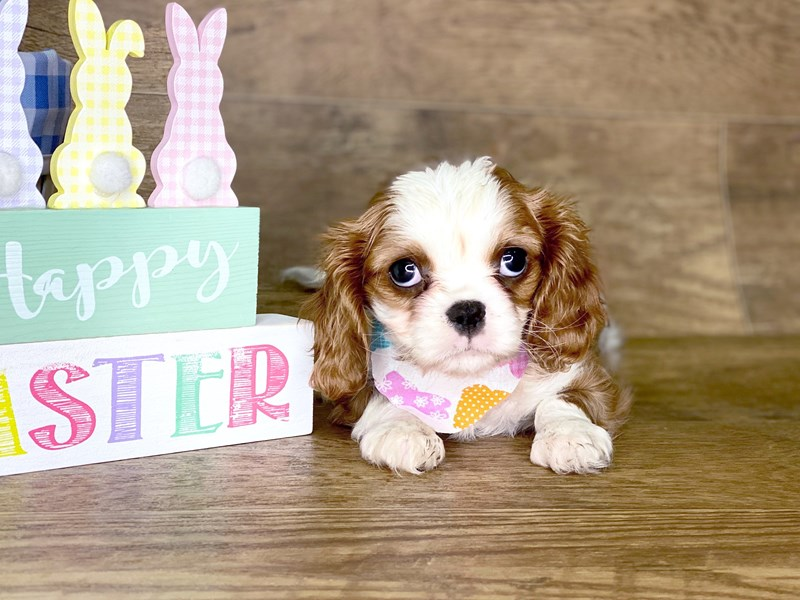 Cavalier King Charles Spaniel-DOG-Female-BLENHEIM-2654535-Petland Athens, OH