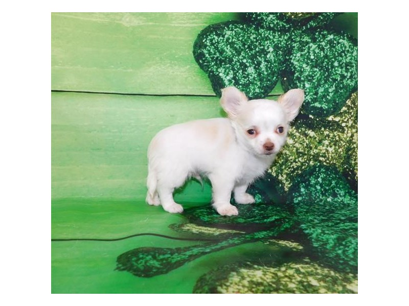 Chihuahua-DOG-Male-White / Cream-2657645-Petland Athens, OH
