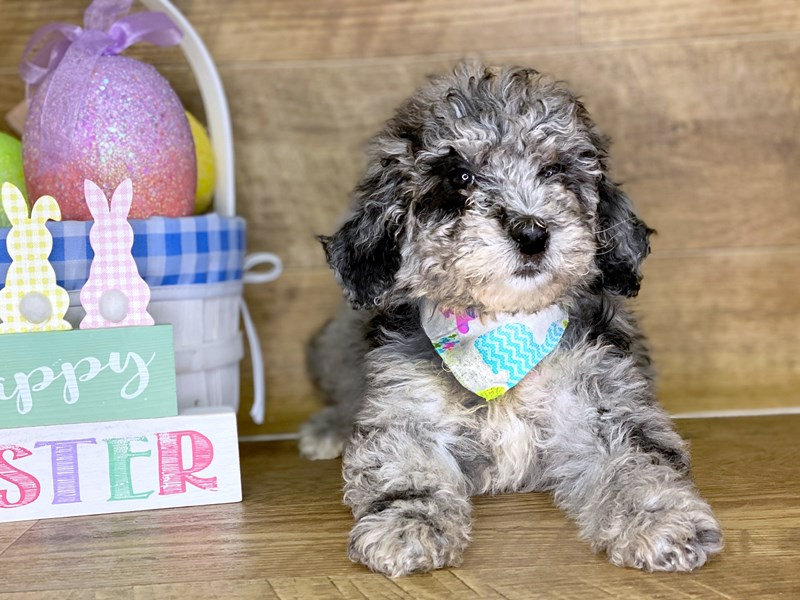 F2 ST Goldendoodle-Female-Blue Merle-2661297-Petland Athens, OH