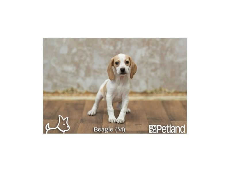 Beagle-DOG-Male--1915123-Petland Athens, OH