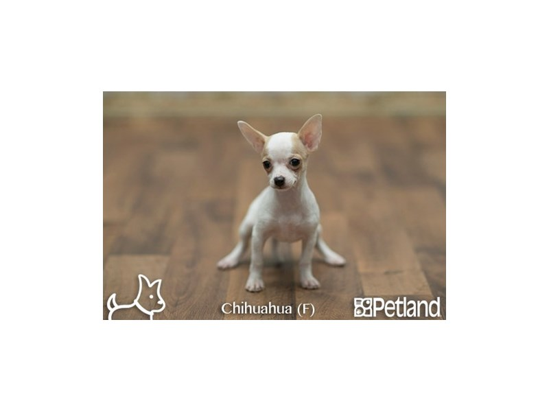Chihuahua-Female-FN:SPTD ON WH-1919638-Petland Athens, OH