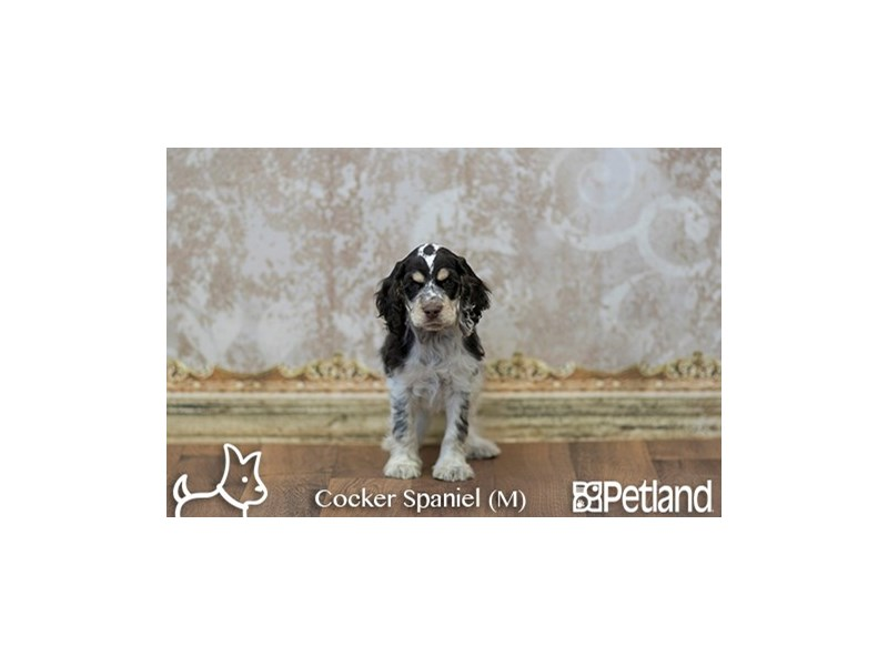 Cocker Spaniel-Male-BR WH & TN-1940428-Petland Athens, OH