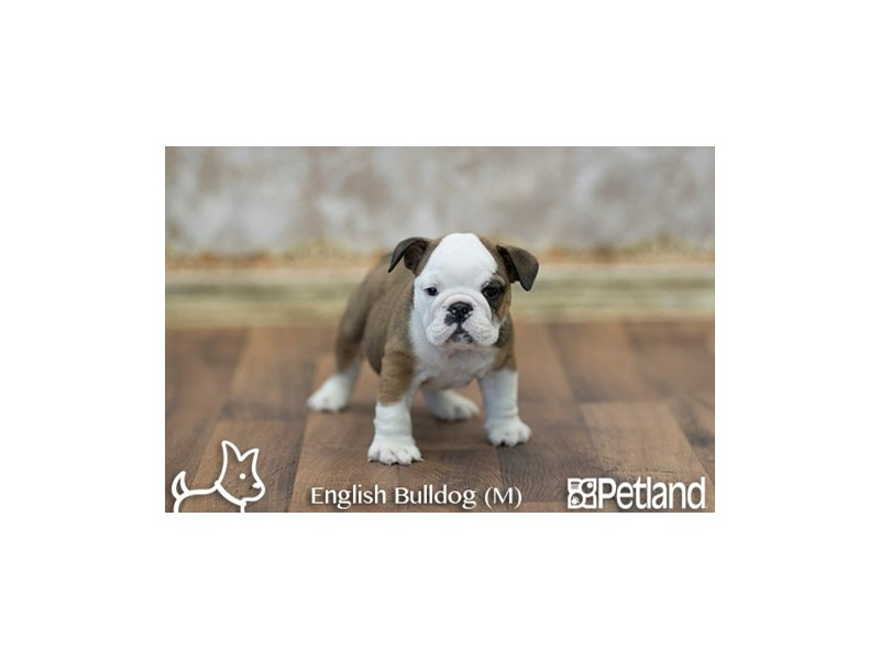 English Bulldog-Male-RD:WH MKGS-1940418-Petland Athens, OH