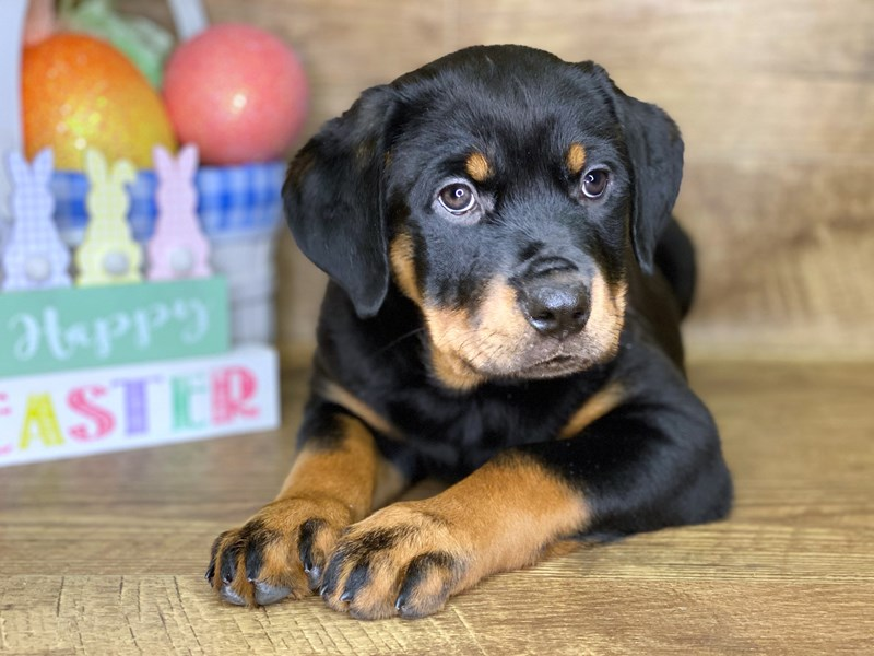 Rottweiler-Female-Black & Tan-2649466-Petland Athens, OH