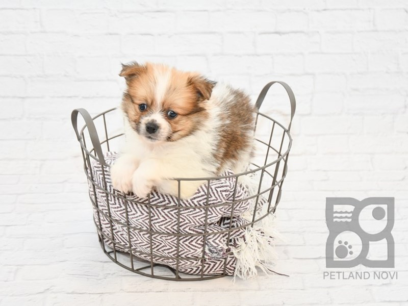 Pomeranian-DOG-Male-SABLE WHITE-2654580-Petland Athens, OH