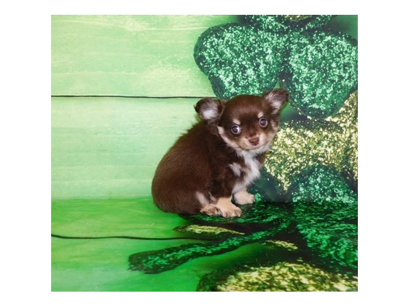 Chihuahua-Male-Chocolate / Tan-2657646-Petland Athens, OH