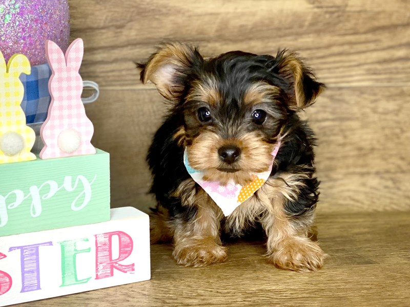 Yorkshire Terrier-DOG-Male-BLK TAN-2667592-Petland Athens, OH