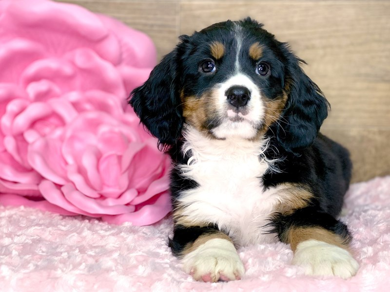 Mini Bernese-Female-Tri-2679766-Petland Athens, OH