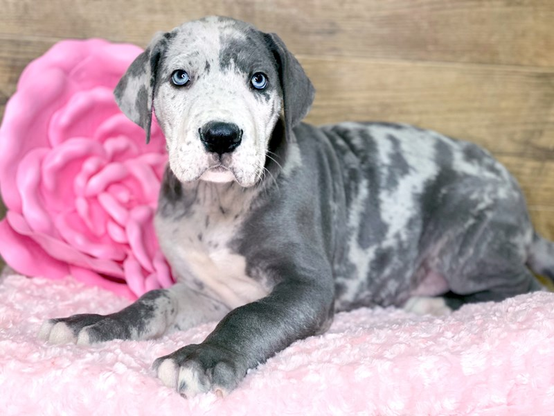 Great Dane-Male-Blue Dapple-2679783-Petland Athens, OH