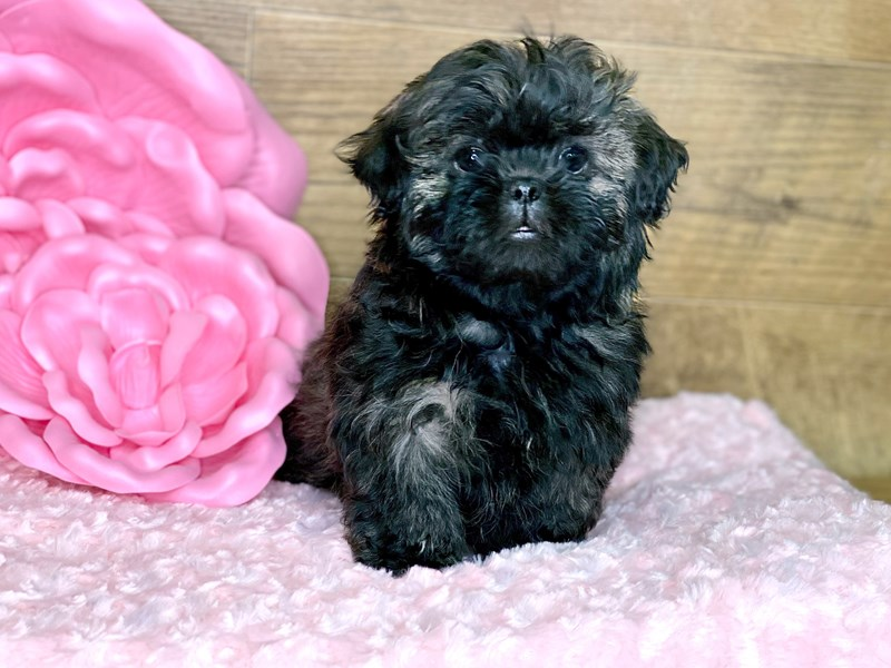 Shih Tzu-DOG-Female-Brindle-2681805-Petland Athens, OH