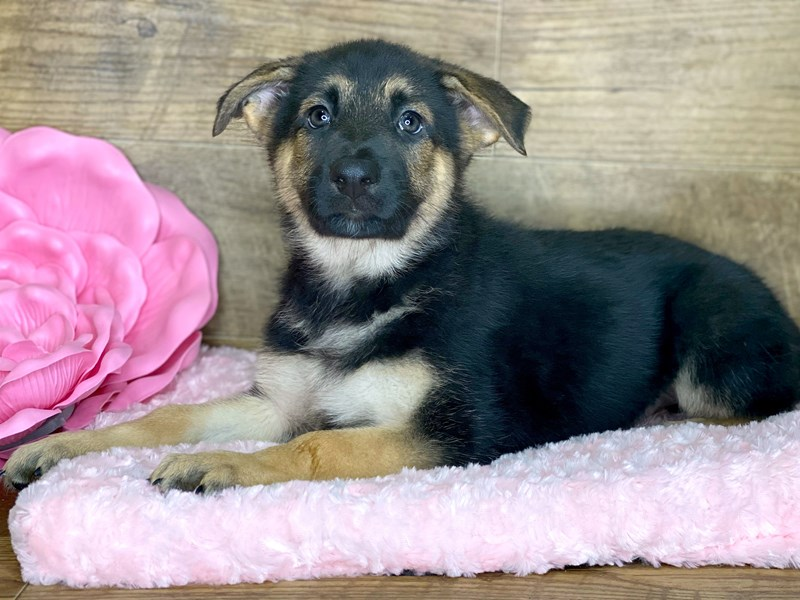 German Shepherd-DOG-Male-Black & Tan-2686763-Petland Athens, OH