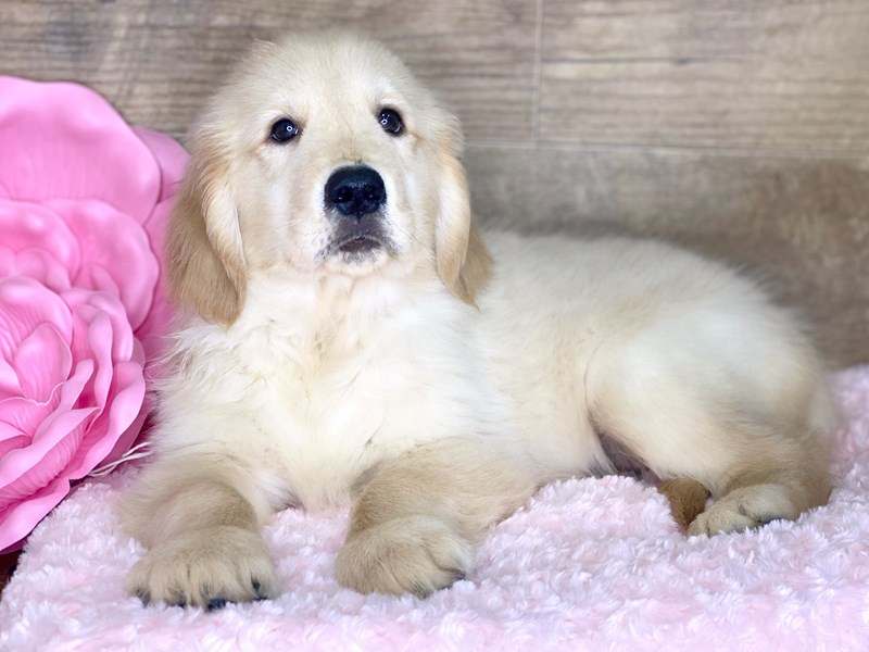 Golden Retriever-Male-Golden-2686735-Petland Athens, OH