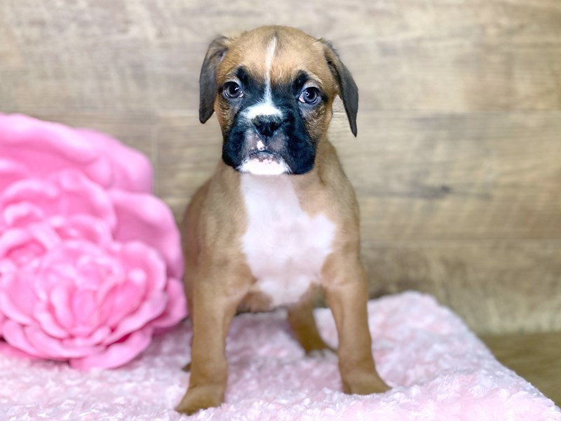 Boxer-DOG-Male-Fawn White-2679922-Petland Athens, OH