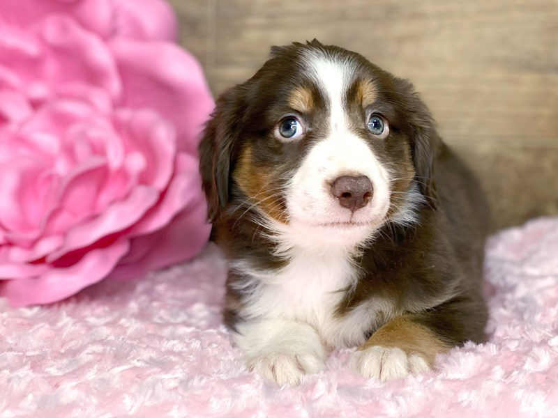Mini Australian Shepherd-DOG-Female-Red tri-2679688-Petland Athens, OH