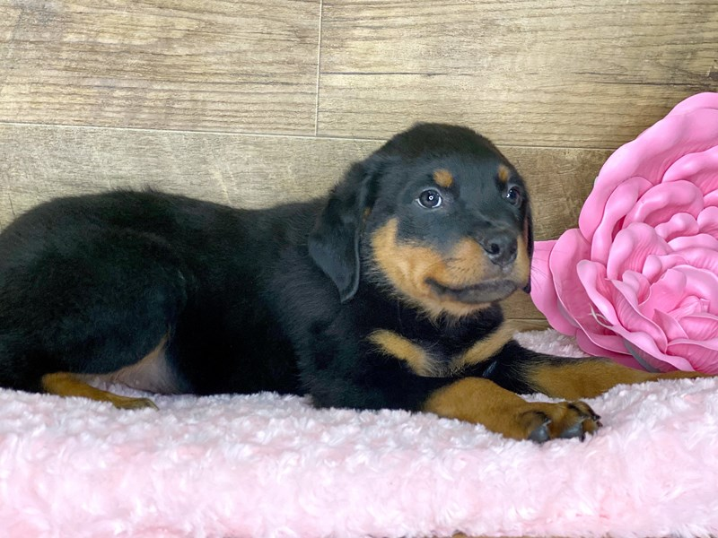 Rottweiler-Male-Blk & Tan-2686724-Petland Athens, OH