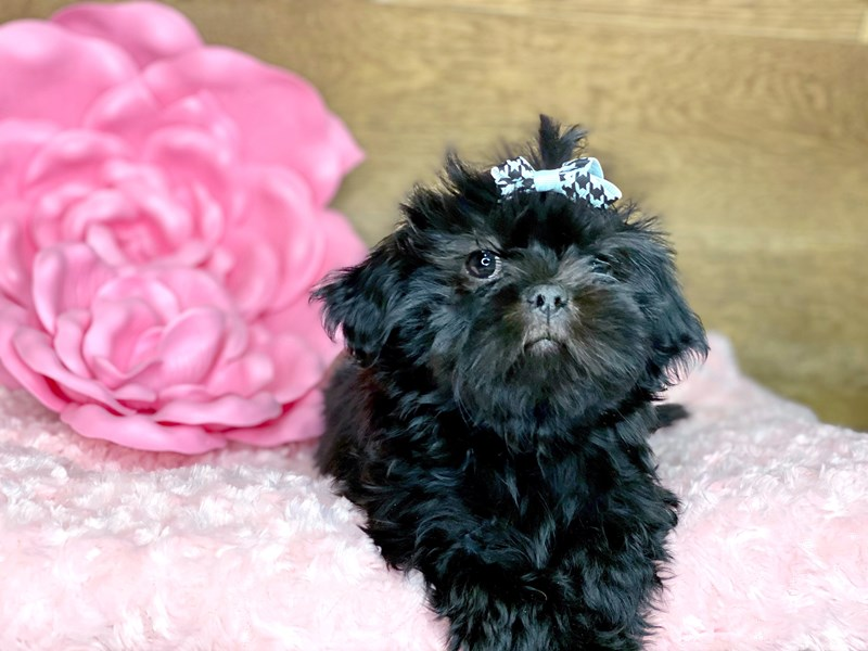 Shih Tzu-DOG-Female-Black-2684995-Petland Athens, OH