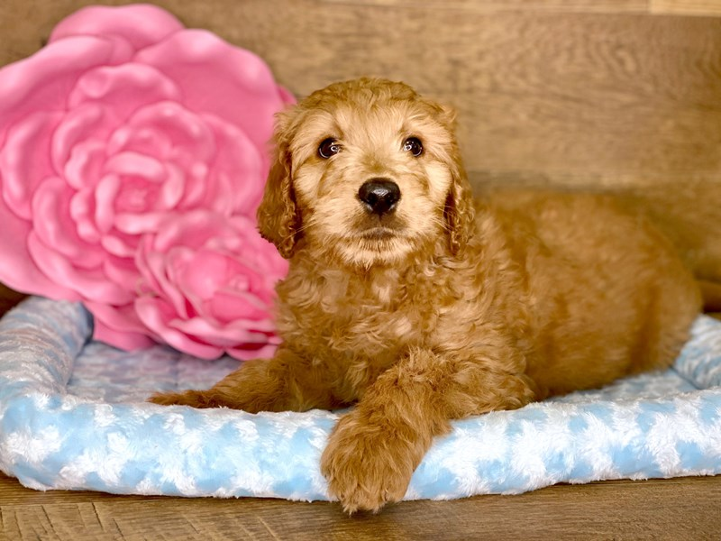 Goldendoodle-Male-Golden-2690176-Petland Athens, OH