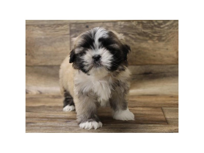 Lhasa Apso-Female-Golden-2696383-Petland Athens, OH