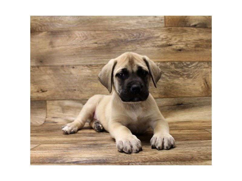 Mastiff-DOG-Male-Fawn-2696384-Petland Athens, OH