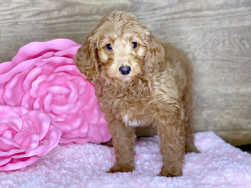F2 MINI GOLDENDOODLE-Female-Red-2693420-Petland Athens, OH