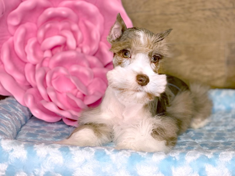 Miniature Schnauzer-Male-LIVER MERLE-2693456-Petland Athens, OH