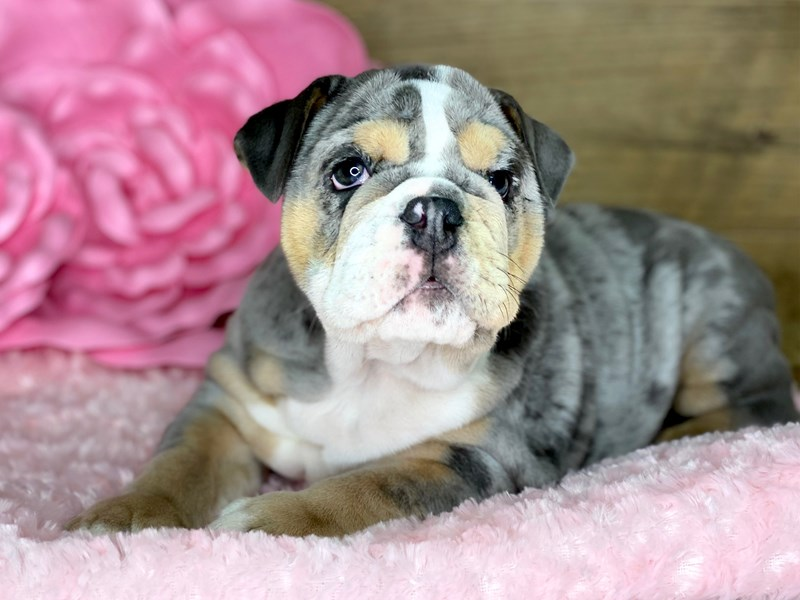 English Bulldog-Female-Blue Merle-2701922-Petland Athens, OH
