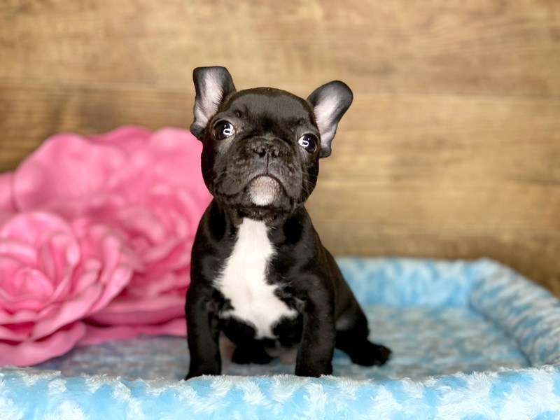French Bulldog-Male-Brindle-2701914-Petland Athens, OH