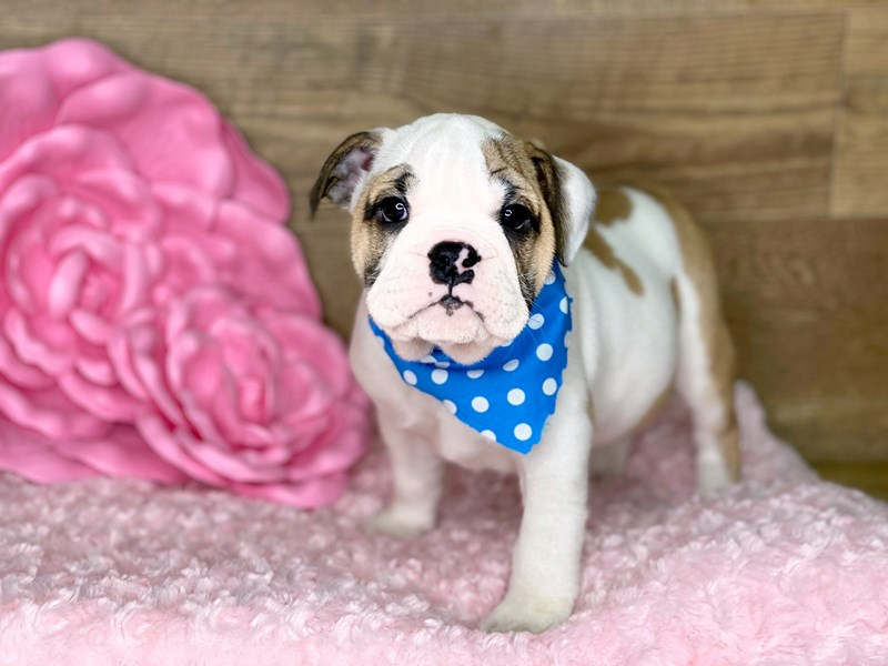 English Bulldog-Female-TRI-2716669-Petland Athens, OH