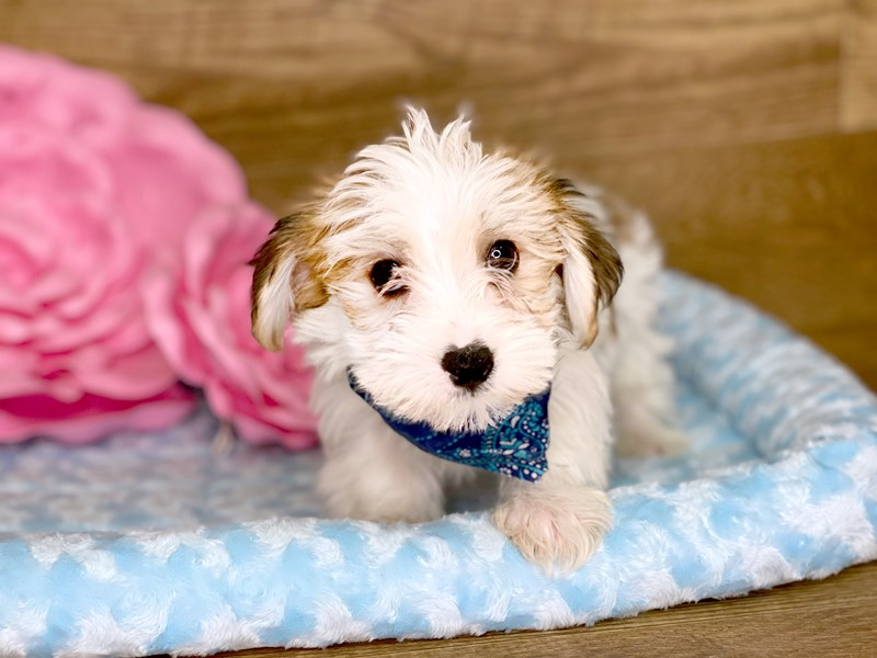 Yorkie Chon-DOG-Male-BROWN WHITE-2706608-Petland Athens, OH