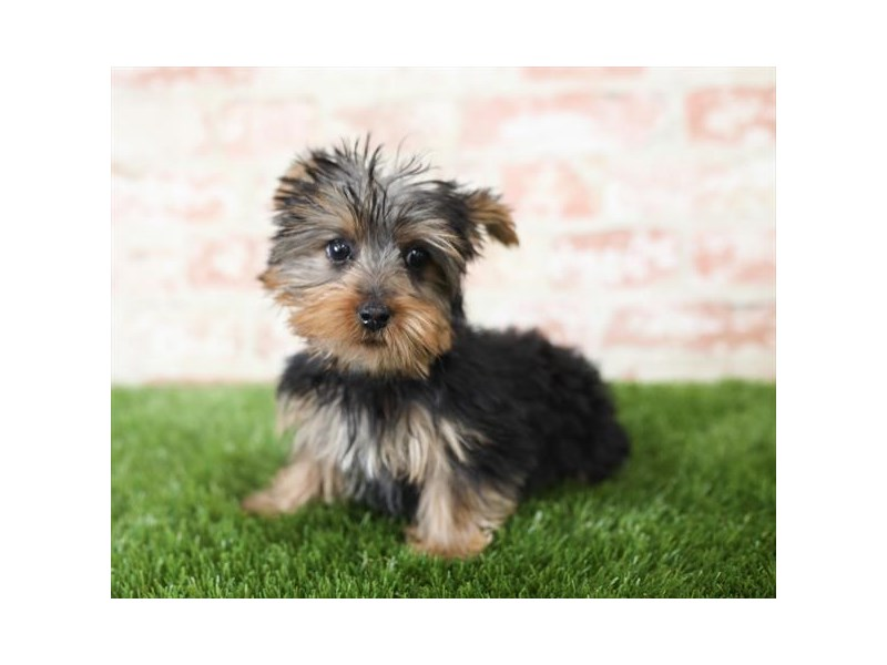Silky Terrier-DOG-Female-Black / Tan-2713979-Petland Athens, OH