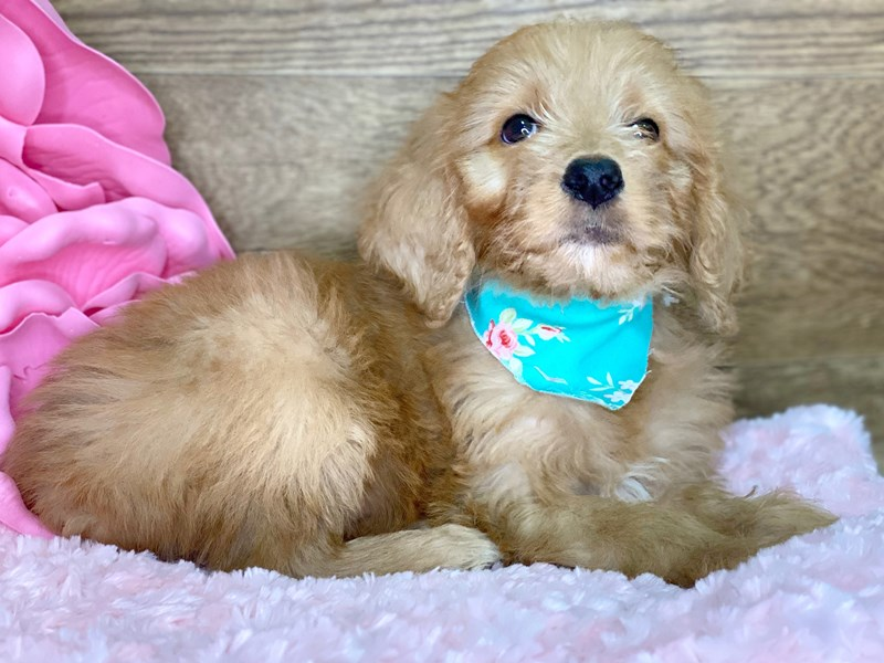 Golden Doodle-DOG-Female-Dark Red-2721352-Petland Athens, OH
