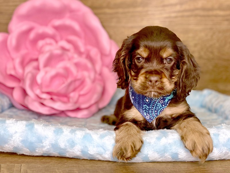 Cocker Spaniel-Male-CHOC TAN-2721264-Petland Athens, OH