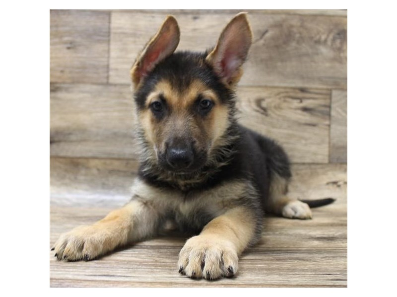 German Shepherd Dog-DOG-Male-Black / Tan-2737412-Petland Athens, OH