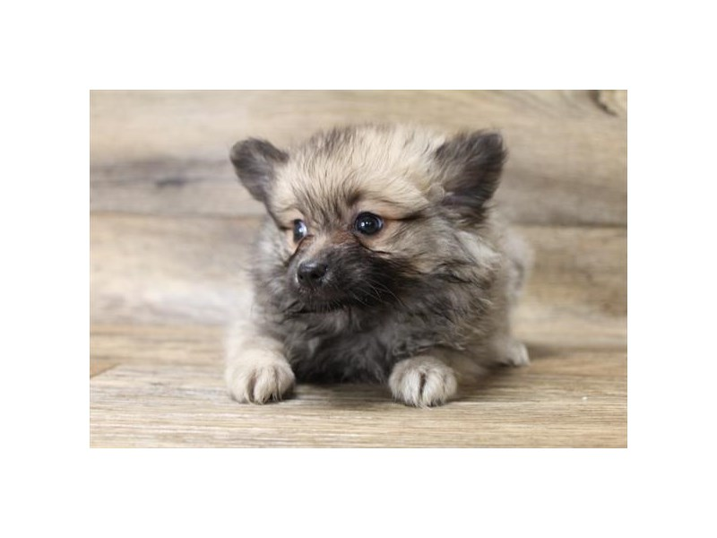 Pomeranian-Female-Red Sable-2737414-Petland Athens, OH