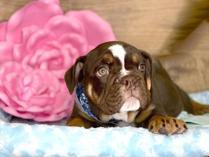 English Bulldog-DOG-Male-Chocolate-2736326-Petland Athens, OH