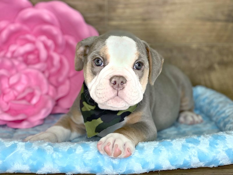 Old English Bulldog-DOG-Male-BLUE TAN-2734176-Petland Athens, OH