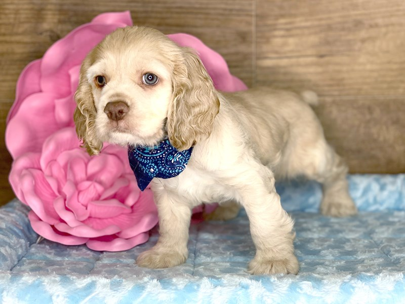 Cocker Spaniel-Male-BUFF-2734138-Petland Athens, OH