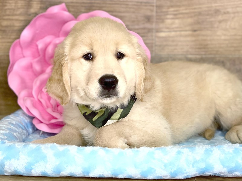 Golden Retriever-DOG-Male-Golden-2734190-Petland Athens, OH