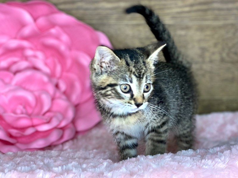 American Shorthair-Female-Brown & Black-2738603-Petland Athens, OH