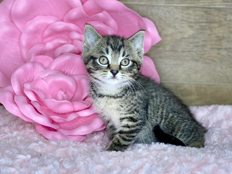 American Shorthair-Male-Brown & Black-2738606-Petland Athens, OH