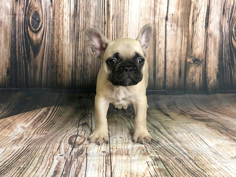 French Bulldog-DOG-Male-Fawn-2743752-Petland Athens, OH