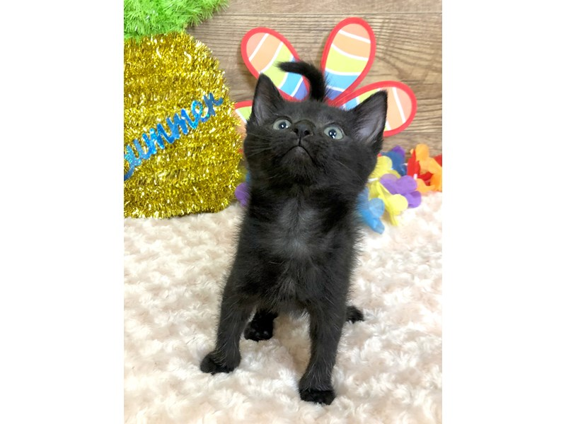 American Shorthair-CAT-Female-Black-2753293-Petland Athens, OH