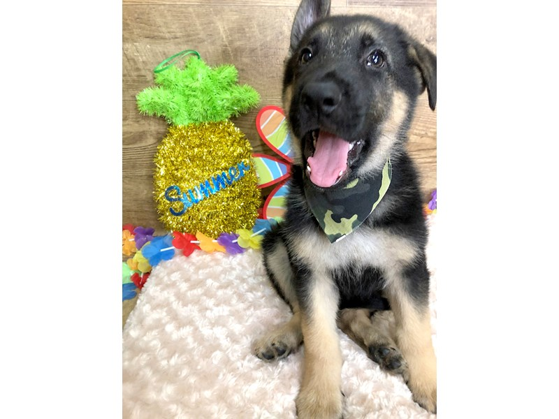 German Shepherd-Male--2753326-Petland Athens, OH
