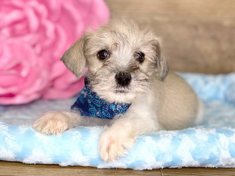 Mini Schnauzer-Male-BROWN WHITE-2734430-Petland Athens, OH